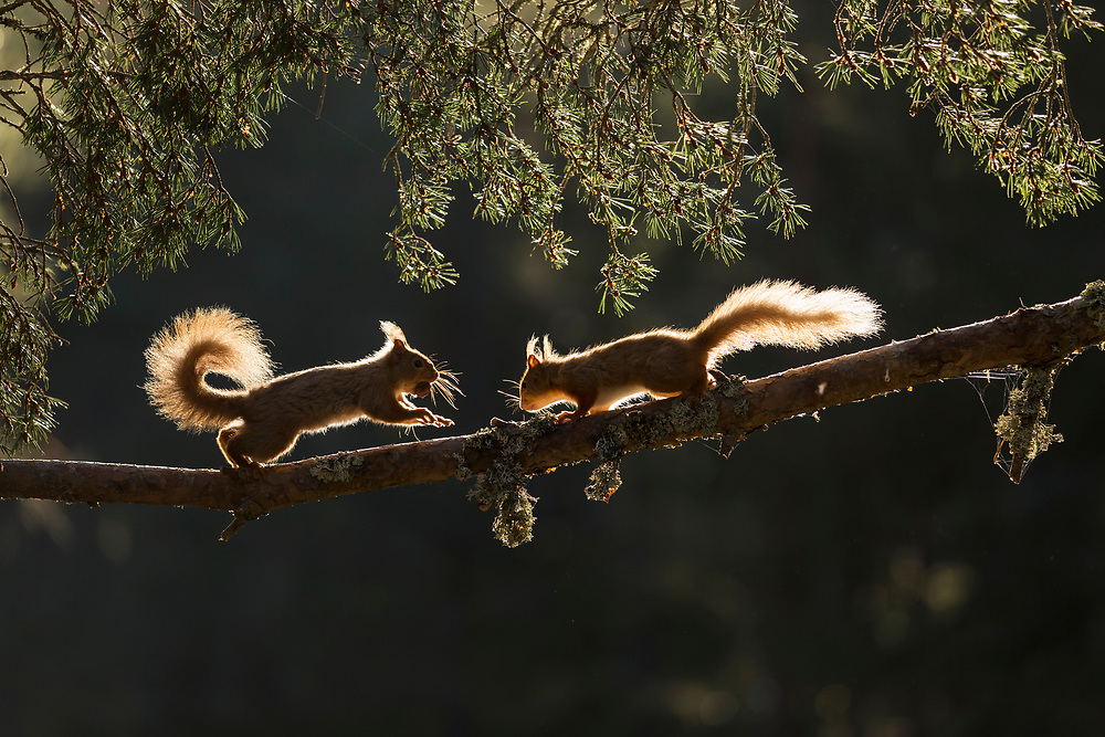 Red squirrel, Sciurus vulgaris, two backlit on pine branch, Cairngorms National Park, Scotland