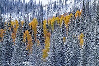 Snow covered pine trees mix with the yellow aspens after the first snow of Fall in Utah's Wasatch Mountains.