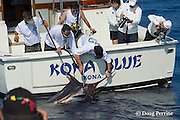 anglers & crew competing in Hawaii International Billfish Tournament bring in a blue marlin, Kailua Kona, Hawaii ( Central Pacific Ocean )