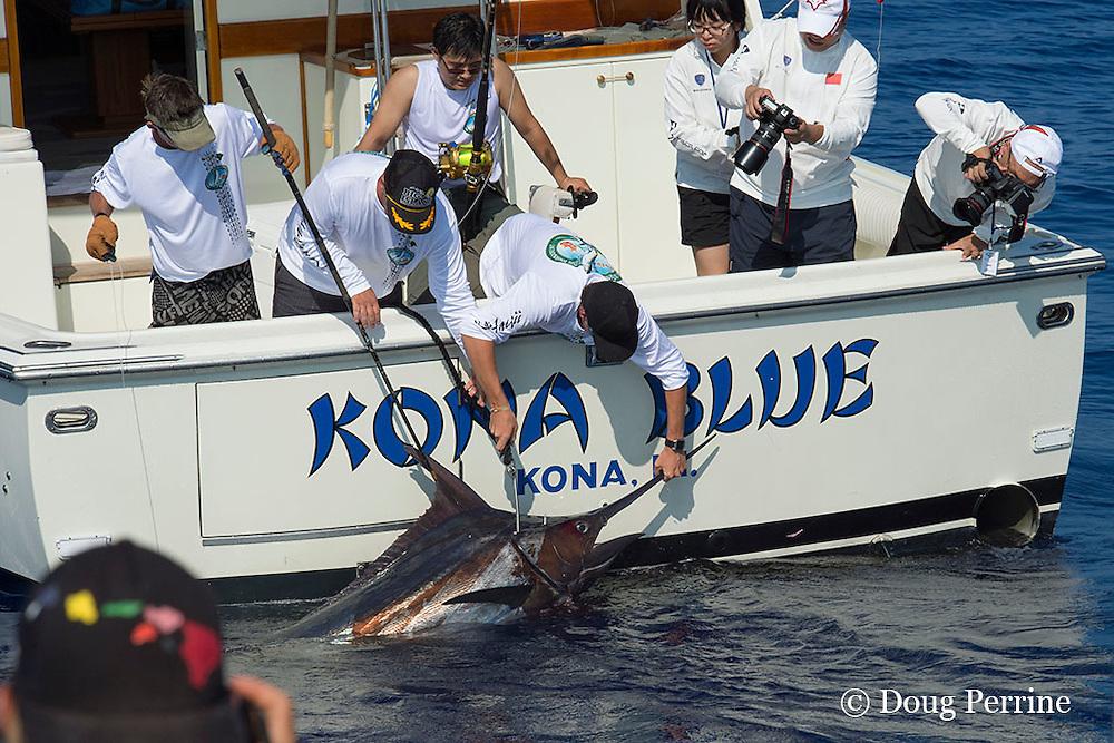 anglers & crew competing in Hawaii International Billfish Tournament bring in a blue marlin, Kailua Kona, Hawaii ( Central Pacific Ocean )