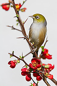 Waxeye Pictures - Photos