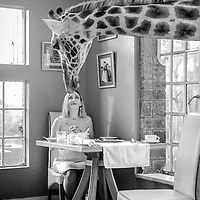 A Rothschild's Giraffe cranes its neck for a close encounter with a guest at Giraffe Manor
