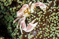 Spotted porcelain crab (Neopetrolisthes maculatus) on its host anemone. It is adopting a defensive position, warding me off....