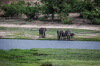 Herds of elephants come down to the river in the Chobe National Park, Botswana.