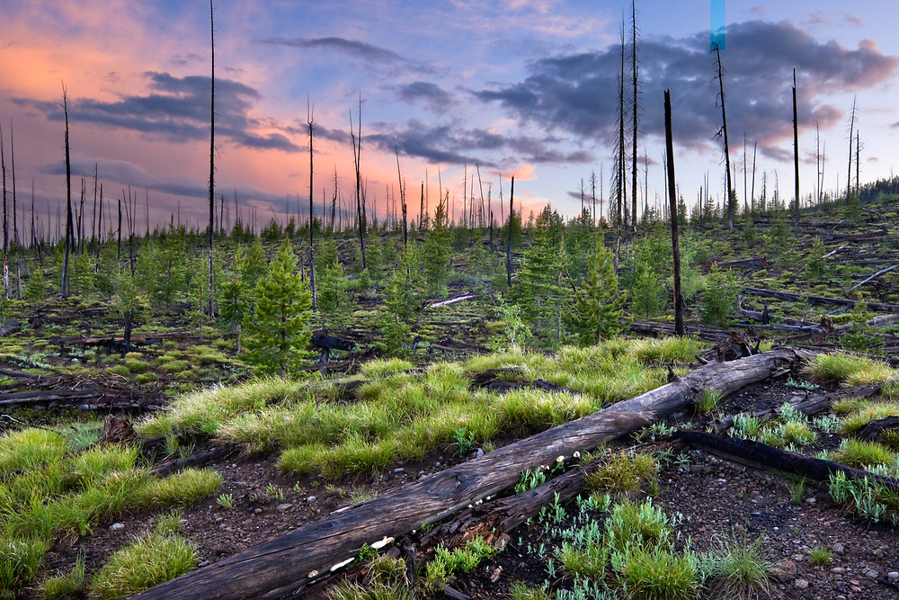 Sunset over a wildfire burn area in Yellowstone National Park, Wyoming.