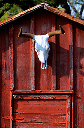 longhorn skull hanging on a red barn wall