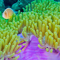 Alberto Carrera, Blackfinned Anemonefish, Amphiprion nigripes, Magnificent Sea Anemone, Heteractis magnifica, Coral Reef, South Ari Atoll, Maldives, Indian Ocean, Asia