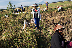 April 28, 2014 - Dadap, Indonesia. Anida who recently returned from working in Singapore as a domestic worker, works harvesting rice near her home. Dadap is well know in the region for having a high migration rate. © Nicolas Axelrod / Ruom
