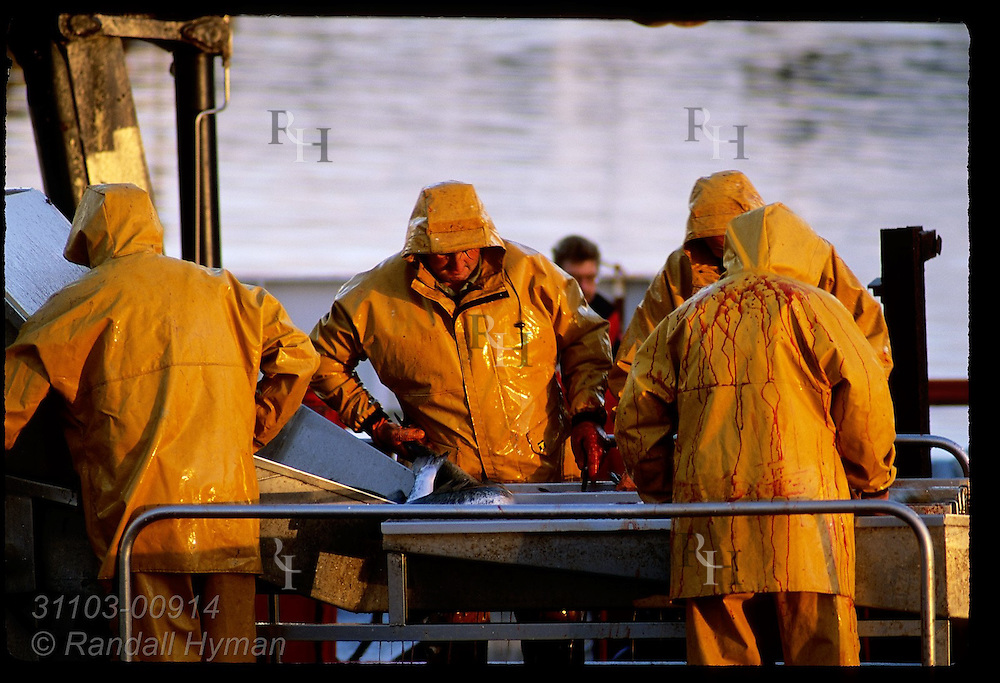 Men in yellow slickers process farm-raised salmon dockside at Castletownbere harbor; Beara Peninsula, Ireland.