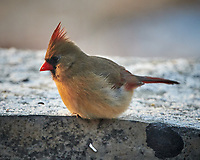 Female Northern Cardinal. Image taken with a Nikon D850 camera and 500 mm f/4 VR telephoto lens (ISO 1100, 500 mm, f/4, 1/500 sec)