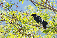 Also known as the Mexican grackle, the great-tailed grackle is a member of the new world blackbird family (Icteridae) and are very common from the American Great Plains, the American Southwest and all of Mexico south to also include all of Central America. This glossy blue/black male was first noticed making an awful commotion with a number of other males and females in a tree in rural Van Horn, Texas.
