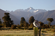 New Zealand Wood Pigeon, Fox, West Coast