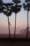 Ko Aung Myo climbing one of the palm trees at the farm, early in the morning. At Ka Myaw Gyi village in the outskirts of Dawei, Myanmar.