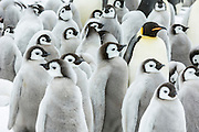 An Emperor Penguin (Aptenodytes forsteri) parent overlooks a creche of chicks, Snow Hill Island, Weddell Sea, Antarctica.
