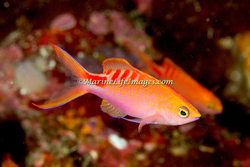 Lori's Anthias inhabit reefs. Picture taken Fiji  Namena, 2011.
