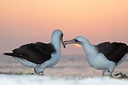 Laysan albatross, Phoebastria immutabilis, couple performing courtship ritual at sunset, Sand Island, Midway Atoll, Midway National Wildlife Refuge, Papahanaumokuakea National Monument, Northwest Hawaiian Islands, U.S.A. ( North Pacific Ocean )