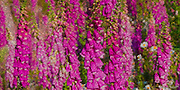 Foxglove (Digitalis purpurea) flowers fill a meadow in the Green Mountain state Forest on the Kitsap Peninsula of Puget Sound, Washington state, USA.