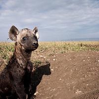Africa, Kenya, Masai Mara Game Reserve, Spotted Hyena (Crocuta crocuta) pup standing at entrance to den
