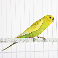Budgerigar photographed while waiting for adoption.  Bird photography by Michael Kloth.