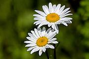 Oxeye Daisy -Leucanthemium vulgare
