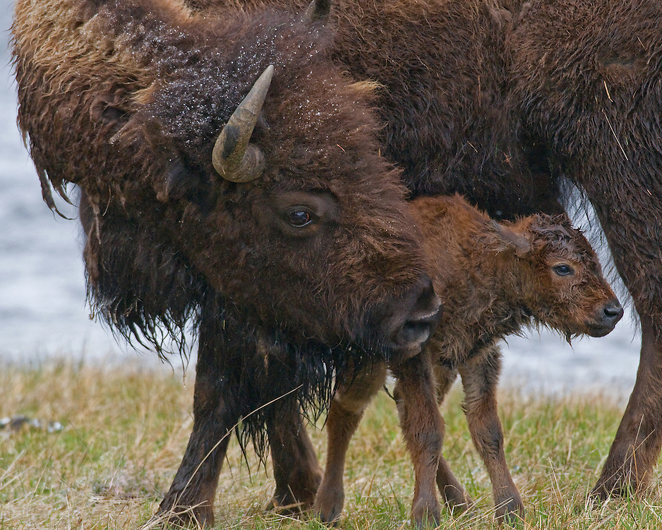 Bison calves are capable of walking and running within a few hours of birth, a necessity when you are required to keep pace with the herd. With much coaxing from his mother, this young calf was able to stand almost immediately after birth and a few minutes later was able to take his first wobbly steps.