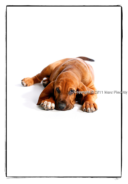 SHOT 6/17/11 5:48:55 PM -Rufus, a 2 month-old male Bloodhound takes a break while taking part in his first photo shoot. The Bloodhound (also known as the St. Hubert hound and Sleuth Hound) is a large breed of dog that was bred originally to hunt deer and wild boar, later specifically to track human beings by scent. It is famed for its ability to follow scents hours or even days old over great distances. Its extraordinarily keen nose is combined with a strong and tenacious tracking instinct, producing the ideal scent hound, and it is used by police and law enforcement all over the world to track escaped prisoners, missing people, and even lost pets. (Photo by Marc Piscotty / © 2011)