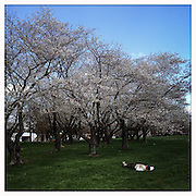 A man rests underneath the cherry blossoms beside the Athens bike path that runs parallel to the Hocking and Ohio University's campus, Thursday, April 11, 2013.