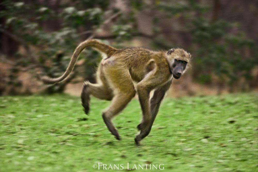 Olive baboon running, Papio anubis, Botswana