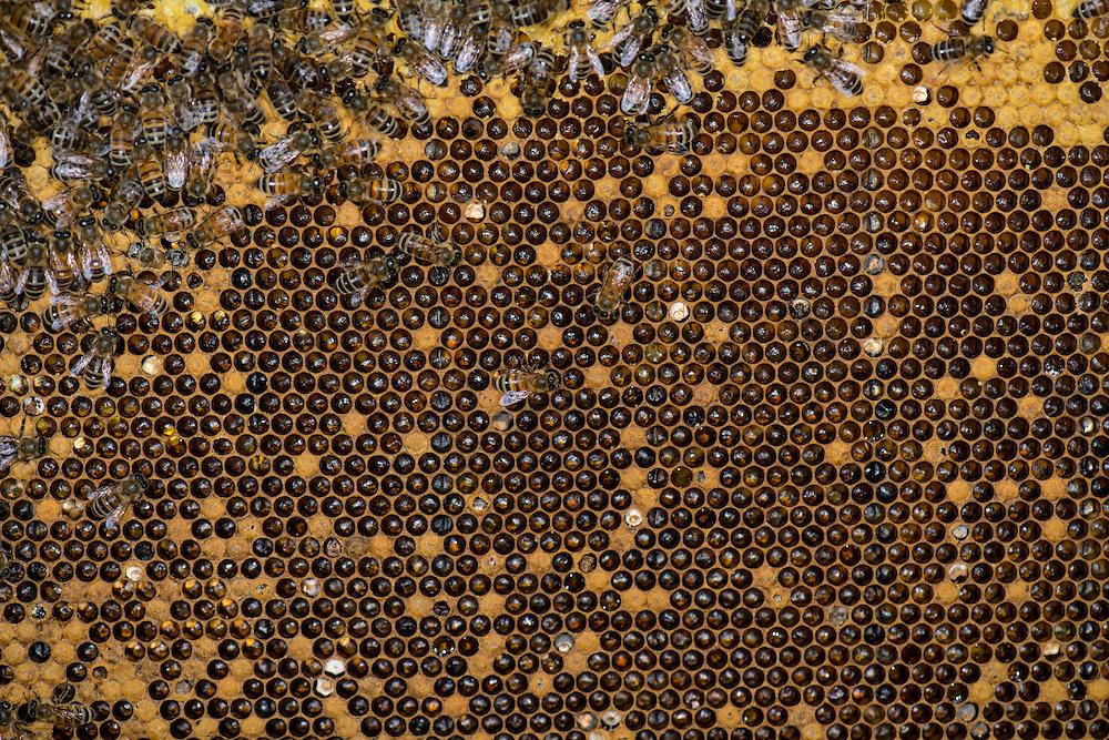 European honey bee (Apis mellifera), Captive,  credit: Palo Alto JMZ/M.D. Kern
