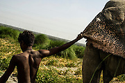 9th May 2014, Yamuna River, New Delhi, India. A handler leads female elephant Ganchal by pulling her ear on an island in the Yamuna River, New Delhi, India on the 9th May 2014<br /> <br /> Elephant handlers (Mahouts) eke out a living in makeshift camps on the banks of the Yamuna River in New Delhi. They survive on a small retainer paid by the elephant owners and by giving rides to passers by. The owners keep all the money from hiring the animals out for religious festivals, events and weddings, they also are involved in the illegal trade of captive elephants. The living conditions and treatment of elephants kept in cities in North India is extremely harsh, the handlers use the banned 'ankush' or bullhook to control the animals through daily beatings, the animals have no proper shelters are forced to walk on burning hot tarmac and stand for hours with their feet chained together. <br /> <br /> PHOTOGRAPH BY AND COPYRIGHT OF SIMON DE TREY-WHITE<br /> + 91 98103 99809<br /> email: simon@simondetreywhite.com photographer in delhi