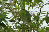 Golden Dove female photo Fiji
