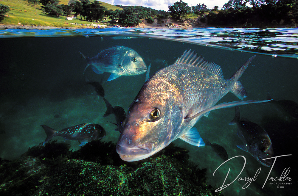 Split level view of  a snapper fish at Goat island bay marine reserve, New Zealand.