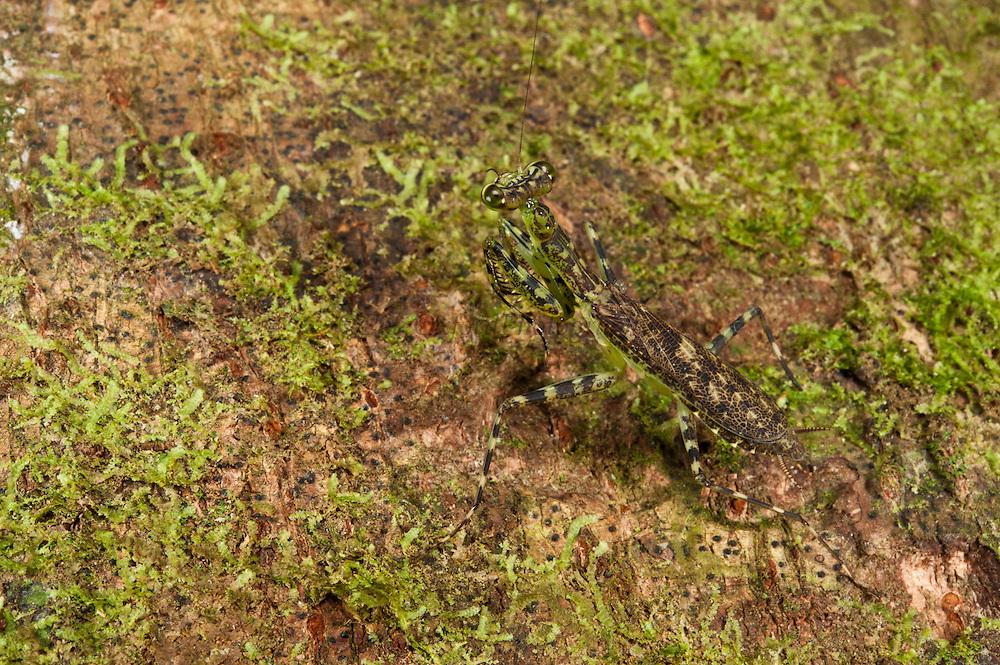 Bark Mantid (Liturgusa sp.)<br /> Yasuni National Park, Amazon Rainforest<br /> ECUADOR. South America<br /> HABITAT & RANGE: