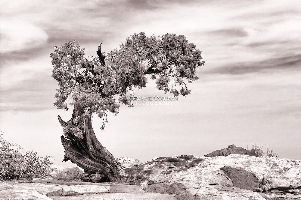 Twisted bristlecone pine tree in the Utah desert