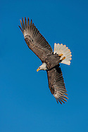 Bald eagle in flight against clear blue sky starting a dive, © 2005 David A. Ponton
