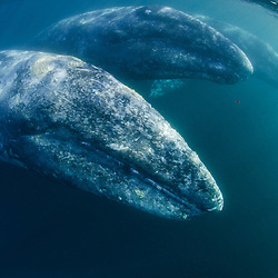 Grey Whales along Mexico's Pacific Coast.Eschrichtius robustus; Mexico
