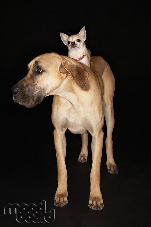 Fila Brasileiro with Chihuahua on Back