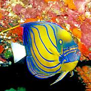 Blue Ringed Angelfish inhabit reefs. Picture taken West Papua, Triton Bay, Indonesia
