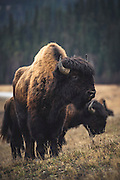 Wood Bison of the Nordquist herd, along the Alaska Highway in northern British Columbia