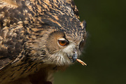 Eurasian Eagle Owl eating prey at the Center for Birds of Prey November 15, 2015 in Awendaw, SC.