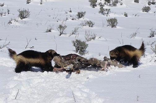 Wolverine, (Gulo gulo) Adults feeding on deer carcass. Rocky mountains. Montana. Captive Animal.