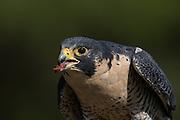 Peregrine Falcon eats prey at the Center for Birds of Prey November 15, 2015 in Awendaw, SC.