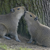 Edinburgh Zoo 9th Feb 2007  Valentine's day s just around the corner but love is already in the air for some of the Anial at edinburgh Zoo.  Two baby Capybara that are only few week old were presented today.