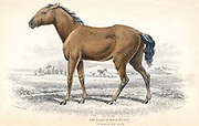 Tarpan: small European wild horse, dun-coloured with dark mane and tail. Small herds survived in remote parts of central Europe, but became extinct in the early 20th century. From William Jardine 'Naturalist's Library' series, Edinburgh, 1830. Hand-colouredengraving.