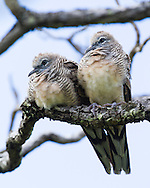 Two zebra doves perch side by side on a tree branch