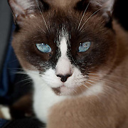 Close up of siamese cat relaxing. Domestic cat