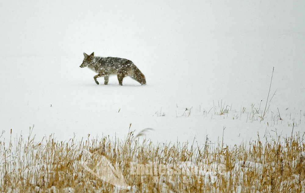 Coyote travels during a heavy snowstorm.