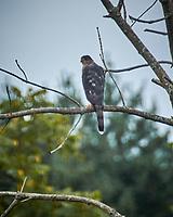 Cooper's Hawk. Image taken with a Nikon N1V3 camera and 70-300 mm VR lens (ISO 160, 300 mm, f/6.3, 1/320 sec)