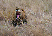 Big male lion resting in the long grass of the savannah in Maasai Mara.