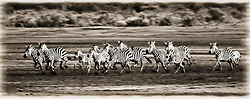 July 21, 2019 - Running Zebras, Serengeti National Park, Tanzania, Africa (Credit Image: © Carson Ganci/Design Pics via ZUMA Wire)